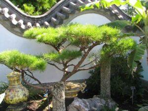 Chinese garden stone and bonzai